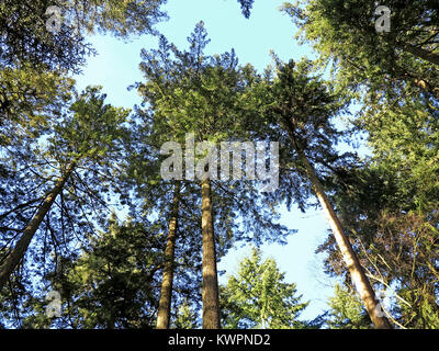 Pine trees in the New Forest National Park - Stock Photo