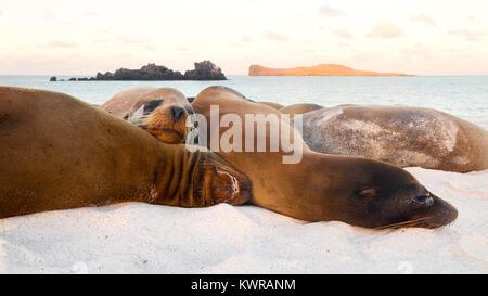 Sea lions resting on the beach, Gardner Bay, Espanola Island ( Hood Island ), Galapagos islands, Ecuador South America - Stock Photo