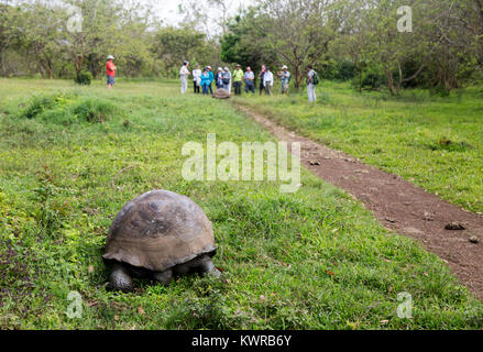 Galapagos giant tortoise ( Chelonoidis Nigra ), and tourists, El Chato Ranch, Santa Cruz island, galapagos Islands, - Stock Photo