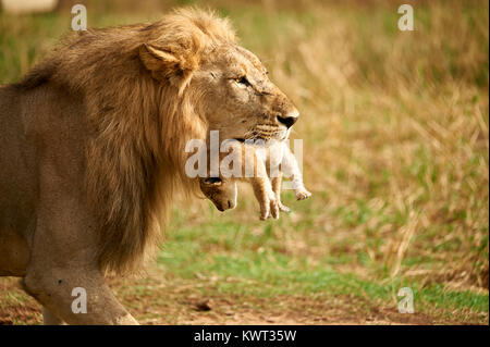 Male lion carrying one of its cubs - Stock Photo