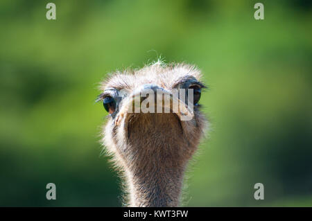 Ostrich looking at camera - Stock Photo