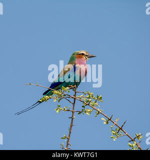 A Lilac-breasted Roller perched in a tree in the Namibian savanna - Stock Photo