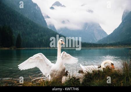 Swans on Dobbiaco Lake in Dolomites, Italian Alps - Stock Photo