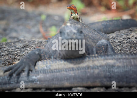 A female Galapagos lava lizard (Microlophus albemarlensis) perched atop a Galapagos marine iguana (Amblyrhynchus - Stock Photo