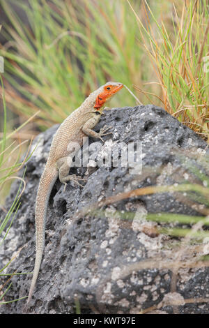 Galapagos lava lizard (Microlophus albemarlensis) basking on a rock. - Stock Photo