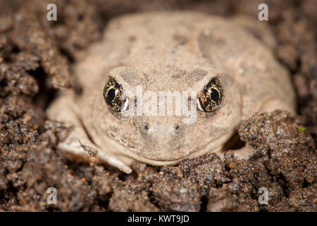 Great Basin spadefoot toad (Spea intermontana). Spadefoots burrow underground to survive dry weather, and emerge - Stock Photo