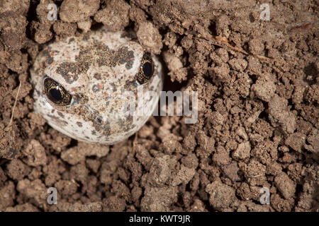Great Basin spadefoot toad (Spea intermontana) emerging from its burrow. Spadefoots burrow underground to survive - Stock Photo