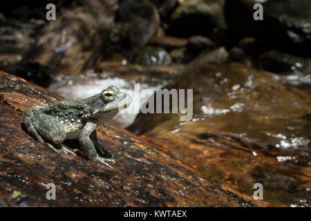 Foothill yellow-legged frog (Rana boylii) perched on a rock in Jedediah Smith Redwoods State Park, California, USA. - Stock Photo