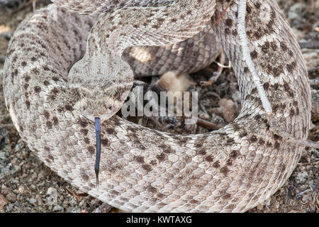 Coiled western diamondback rattlesnake (Crotalus atrox), shaking the rattle on its tail, extending its forked tongue. - Stock Photo