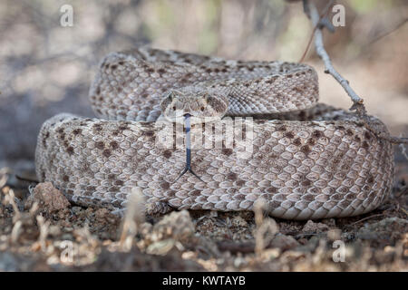 Coiled western diamondback rattlesnake (Crotalus atrox), extending its forked tongue. - Stock Photo
