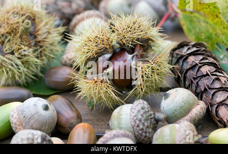 Collection of nuts and seeds. Acorns, Chestnuts, and cones on a wooden table. - Stock Photo