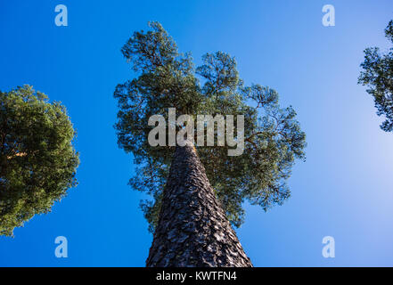 Looking up along trunk of tall pine tree and branches, between other trees on sides against blue sky in Norway. - Stock Photo
