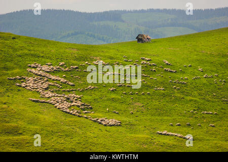 Herd of sheep on a mountain slope near Paltinis, Sibiu County, Romania - Stock Photo