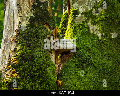 Moss and parasite fungus growing on a tree - Stock Photo