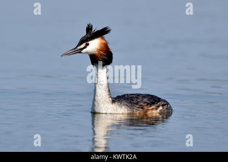 The great crested grebe (Podiceps cristatus) is a member of the grebe family of water birds noted for its elaborate - Stock Photo