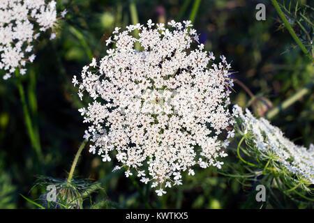 Big white field flower Ammi majus. Bullwort, Queen Anne lace, laceflower wild flower, top view - Stock Photo