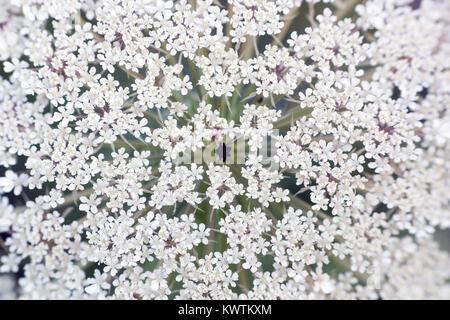 Big white field flower Ammi majus. Bullwort, Queen Anne lace, laceflower wild flower, macro - Stock Photo