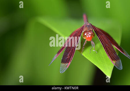 Crocothemis erythraea is a species of dragonfly in the family Libellulidae. Its common names include broad scarlet, - Stock Photo
