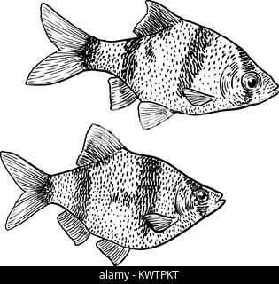 Tiger barb illustration, drawing, engraving, ink, line art, vector - Stock Photo