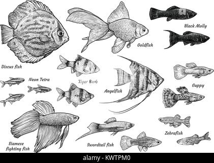 Collection of aquarium fish illustration, drawing, engraving, ink, line   art, vector - Stock Photo