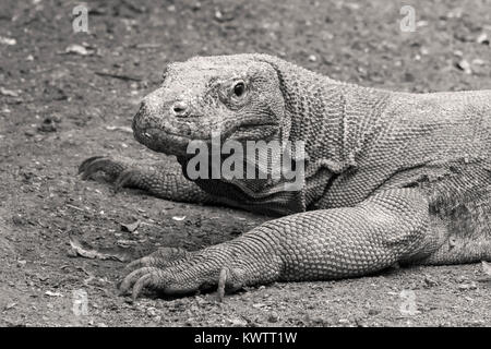 Portrait of a Komodo dragon, Loh Buaya Komodo National Park, Rinca Island, Indonesia - Stock Photo