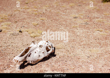A skull of wild animal in the middle of desert in Bolivia - Stock Photo