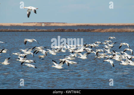 A flock of snow geese migrating settling into an unfrozen wetland - Chen caerulescens - Stock Photo