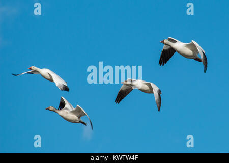 A group of snow geese flying in sync - Chen caerulescens - Stock Photo