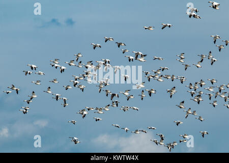 A flock of snow geese migrating away from a frozen wetland - Chen caerulescens - Stock Photo