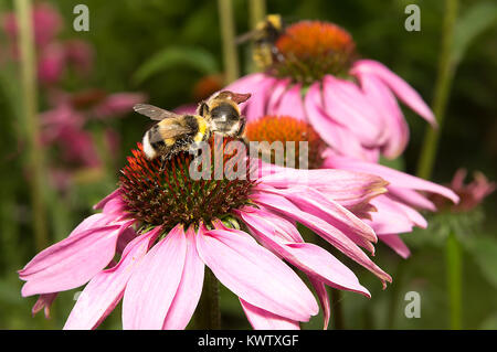 echinaceas with two bees on the beautiful summer day in Estonian garden collecting pollen - Stock Photo