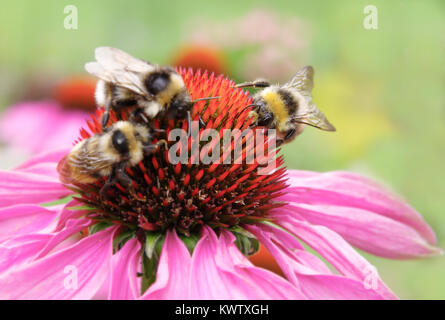 echinaceas with three bees on the beautiful summer day in Estonian garden collecting pollen - Stock Photo
