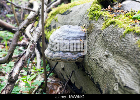 Mushroom Polypores grows on fallen tree in forest - Stock Photo