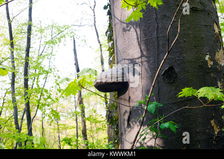 Mushroom Polypores grows on tree in green forest - Stock Photo