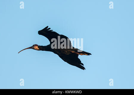 Southern Bald Ibises (Geronticus calvus) adult in flight - Stock Photo