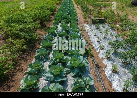 Farming in Ghana, irrgated pepper and cabbage fields  of farmer Gideon Agbodzi, Volta Region, Anloga - Stock Photo
