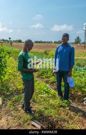 Farming in Ghana, irrgated fields of farmer Gideon Agbodzi (l) showing Ebener Korateng of GIZ Ghana (r) some fruit, - Stock Photo