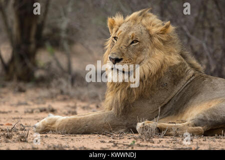 Young male Lion (Panthera leo) lying on the ground - Stock Photo