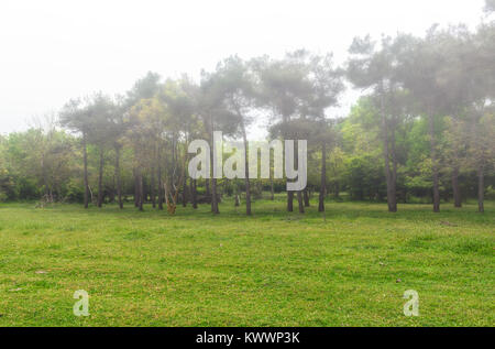 Edge of forest, pine trees in fog - Stock Photo