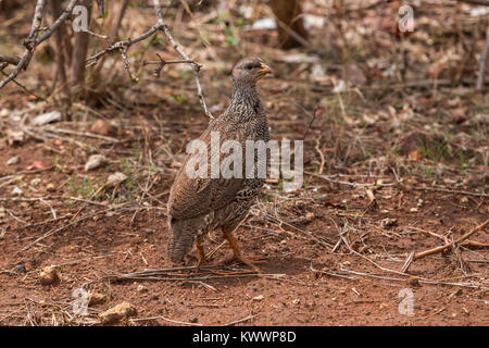 Natal Spurfowl, Pternistis natalensis, Phasianidae - Stock Photo