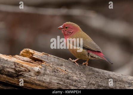 Red-billed Firefinch (Lagonosticta senegala) male perched on a branch - Stock Photo