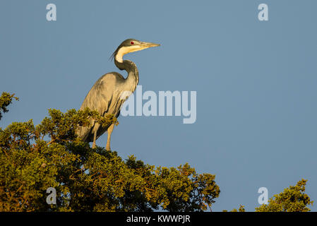 Black-headed Heron (Ardea melanocephala) perched in a tree, (Ardeidae) - Stock Photo