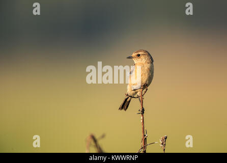 A Siberian stonechat perched - Stock Photo