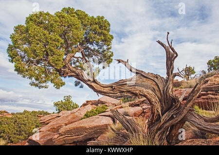 Utah Juniper at Grand View - Stock Photo