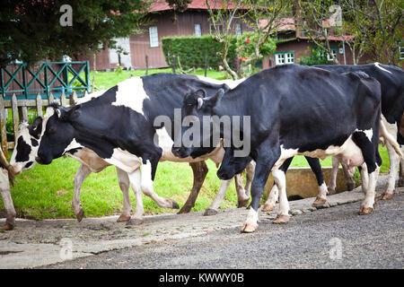 Livestock at a farm in Cerro Punta, Chiriqui province, Republic of Panama. - Stock Photo