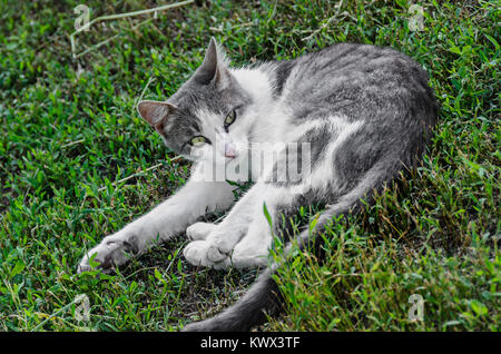Grey with white belly  domestic cat, green eyes, lying in the grass, close up. - Stock Photo