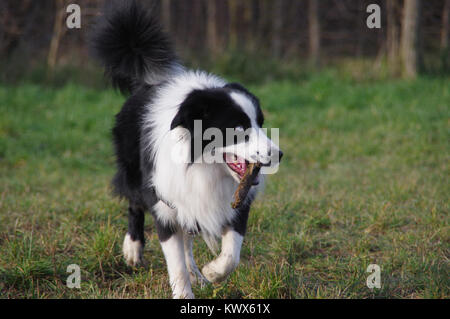 Dog playing with stick on grass. Fun and joy of Border Collie running with stick on meadow. - Stock Photo