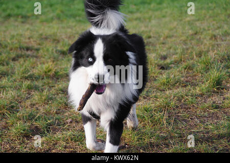 Dog playing with stick on grass. Fun and joy of Border Collie running with stick on meadow. Multicolored eyes. - Stock Photo