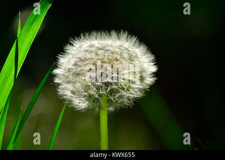 A wild dandelion flower that has gone to seed and ready to dispurse in rural Alberta Canada. - Stock Photo