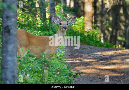 A white-tailed deer (Odocoileus virginianus) steping out into the open on a hiking trail near Hinton Alberta Canada. - Stock Photo