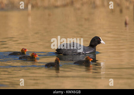 Eurasian coot (Fulica atra) swimming with chicks in pond in spring - Stock Photo